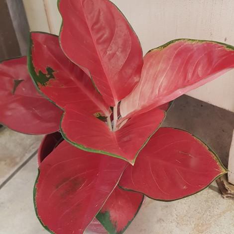 Aglaonema super red