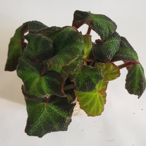 Begonia magic color green