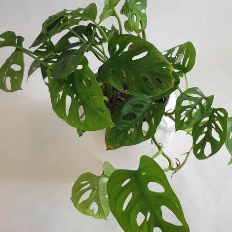 Monstera obliqua Monkey leaf