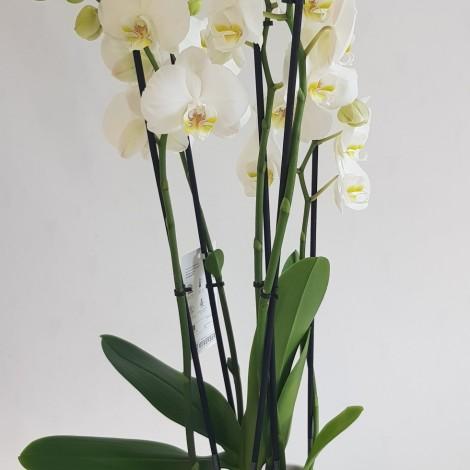 Orhideja Phalaenopsis bela,...